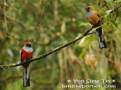 A pair of Whitehead's Trogon