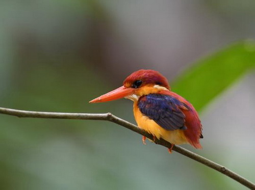 bare king fisher