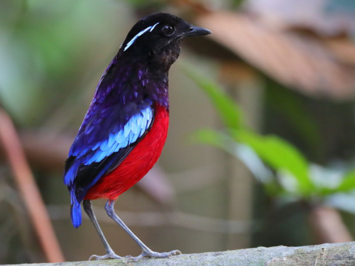 Black-headed Pitta1