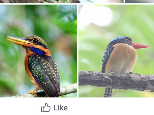 Bornean Banded & Rufous-collored Kingfisher
