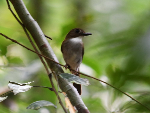 Grey-breasted Jungle-flycatcher