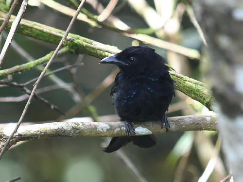 Bornean (Hairy-crested) Drongo