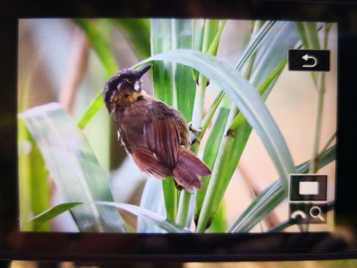 Grey-throated Babbler