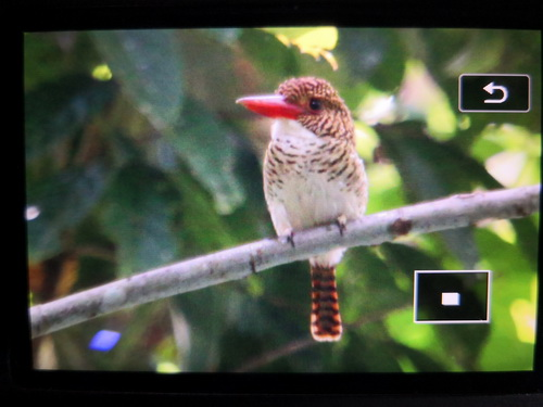 Bornean Banded Kingfisher